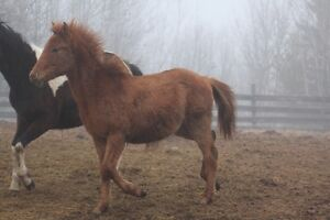 Yearling Colt