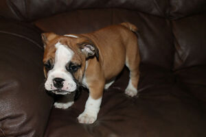 Beautiful English bulldogs for sale