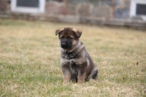 Exeptional Working Line German Shepherds Puppies for Sale