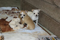Adorable  Chihuahua Babies.... Just in time for Mothers Day