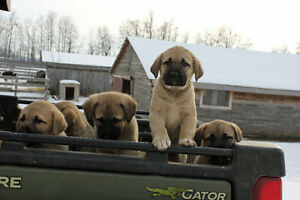 kangal puppies for sale