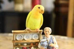 Rare, super tame Opaline Orange face Lutino baby lovebird!