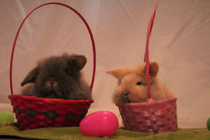 CUTE AND FLUFFY BUNNIES FOR SALE