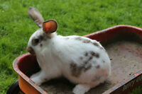 Rabbits for sale they are californian flemmish cross's