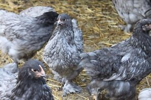 Pullets for sale - Chilliwack delivery