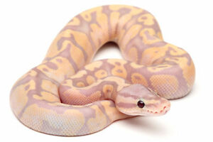 Are you looking for specialty morph ball pythons?