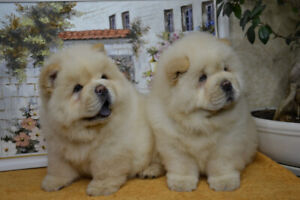 Purebreed Chow Chow Female For Sale