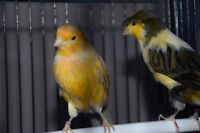 Canary pair for sale!