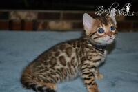 *SOLD* Stunning Male Bengal Kitten - Ready to go mid December