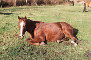 2003 sorrel QH kids/trail horse Campbell River Comox Valley Area image 6