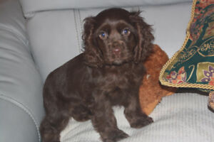 Chocolate cocker spaniel puppy for sale