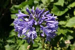 Exotic plants for sale - Evergreen Agapanthus $15