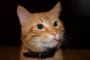 LOST; Orange Shorthaired Male Cat