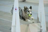 Flyball Workshop -The most fun you can have with your dog!!