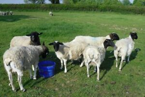 Young ewes wanted