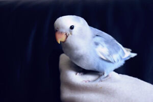 Wanted:Looking for a Female Turquoise Lovebird
