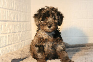 Miniature poodle Blue Merle male available