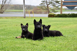 CKC CZECH WORKING LINE GERMAN SHEPHERDS