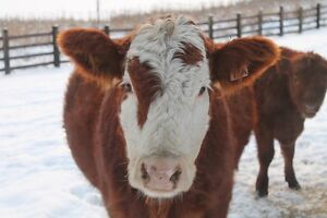 4 year old Simmental X cow