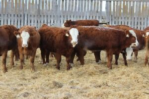 open heifers for breeding