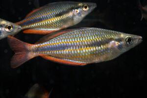 Goyder River Rainbowfish