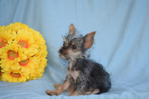 Teacup Chihuahua X Yorkie Puppy *1 left*