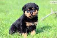 Looking for a non registered Rottweiler