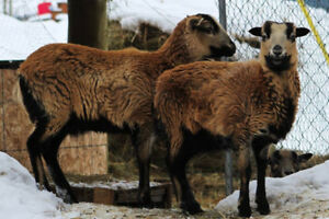Breeding flock for sale