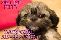 4 Shih Tzu Puppies for Sale!!!