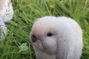 Purebred Holland Lop Bunnies ~Sugar