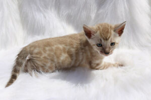 Bengal cat,kitten, snow mink, female, Milo