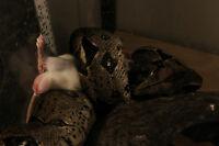 Serpent Boa Constrictor femelle possible Het Albino
