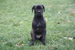 Quality Cane Corso Puppies - AKC/ICCF