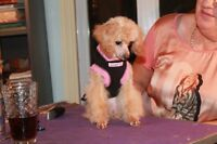 poodles toy,tinytoy and teacup puppys from champion for sale