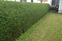 Hedge Trimming & Tree Pruning Professionals --- PACIFICHEDGE.COM