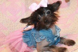 Petite Princesse Chien chinois (chien nu)
