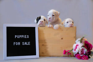 Boxer | Adopt Dogs & Puppies Locally in Canada | Kijiji ...