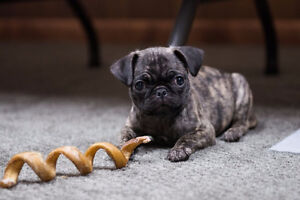 8 week old pug puppy