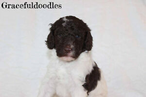 Beautiful litter F2B Standard Goldendoodles