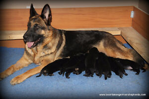 CKC registered German Shepherds for sale to approved homes
