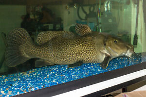 Giraffe Catfish for sale