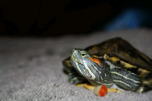 6 year old red eared slider