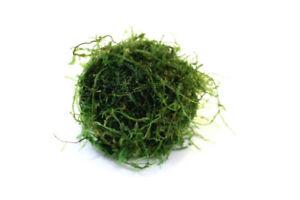 Golf Ball Size Java Moss (Mousse Java) Aquarium Plant