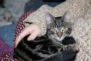 Angel, Brown Tabby for Adoption with KLAWS