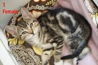 6 Family Raised Kittens - inc 1st shots/deworming - Avail Dec 3