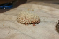 Baby Hedehogs