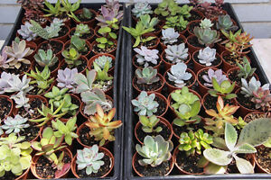 Small succulents for sale