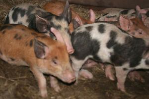 pigglets ready to go