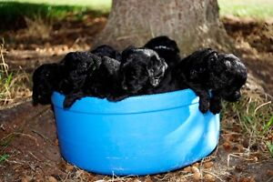 3 kid friendly labradoodle Puppies available may 5