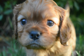 Outstanding 5 Gen Pedigree King Charles Cavalier Puppies DNA Clear